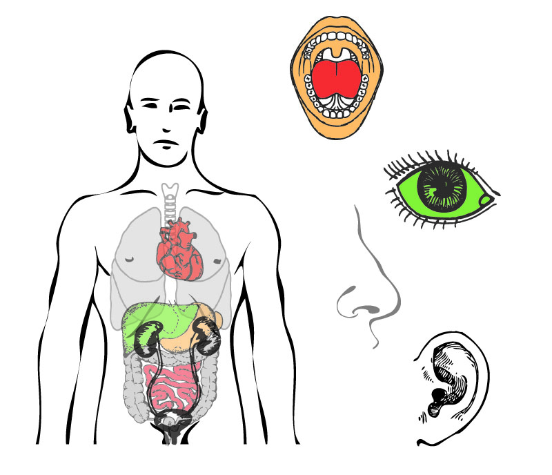 La oreja y su conexión con los órganos internos | Sanación Creativa
